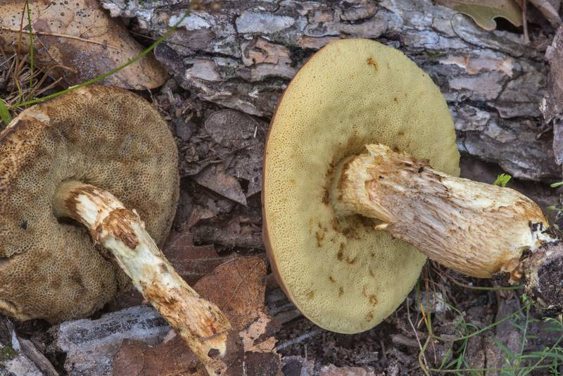 "Underside of bolete mushrooms <B>Leccinellum griseum</B>(?) in Lick Creek Park. College Station, Texas, <A HREF=""../date-en/2018-07-18.htm"">July 18, 2018</A>"