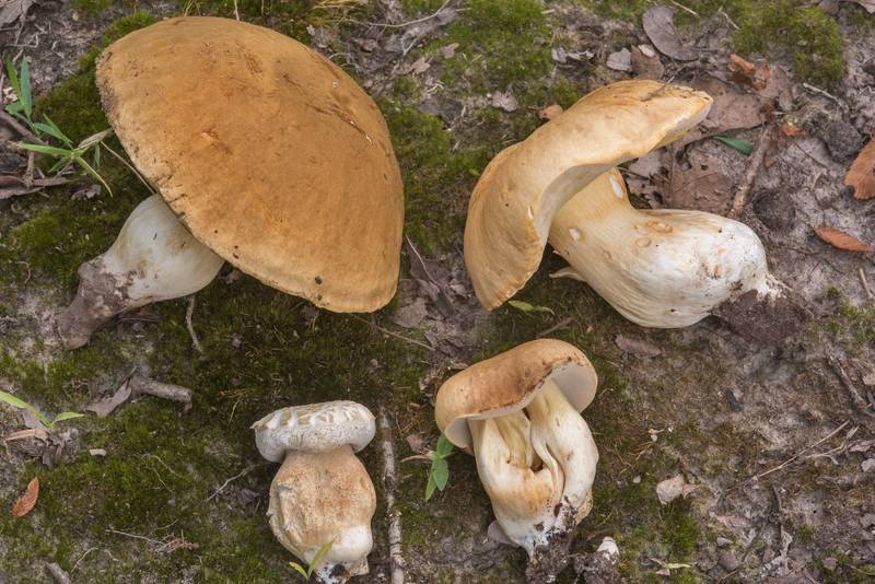 "Side view of porcini mushrooms (<B>Boletus edulis</B> group) in Lick Creek Park. College Station, Texas, <A HREF=""../date-en/2018-07-19.htm"">July 19, 2018</A>"