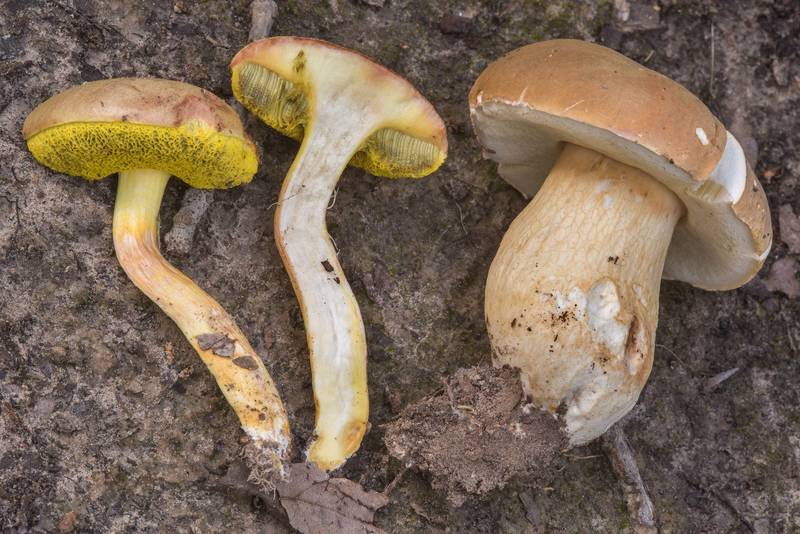 "Bolete mushrooms Aureoboletus auriporus(?) and porcini (<B>Boletus edulis</B> group) in Lick Creek Park. College Station, Texas, <A HREF=""../date-en/2018-07-19.htm"">July 19, 2018</A>"