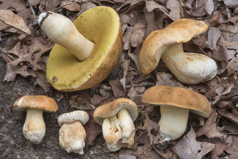 "Group of six porcini mushrooms (<B>Boletus edulis</B> group) in Lick Creek Park. College Station, Texas, <A HREF=""../date-en/2018-07-19.htm"">July 19, 2018</A>"