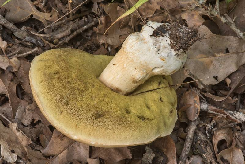 "Underside of a large porcini mushroom (<B>Boletus edulis</B> group) in Lick Creek Park. College Station, Texas, <A HREF=""../date-en/2018-07-19.htm"">July 19, 2018</A>"