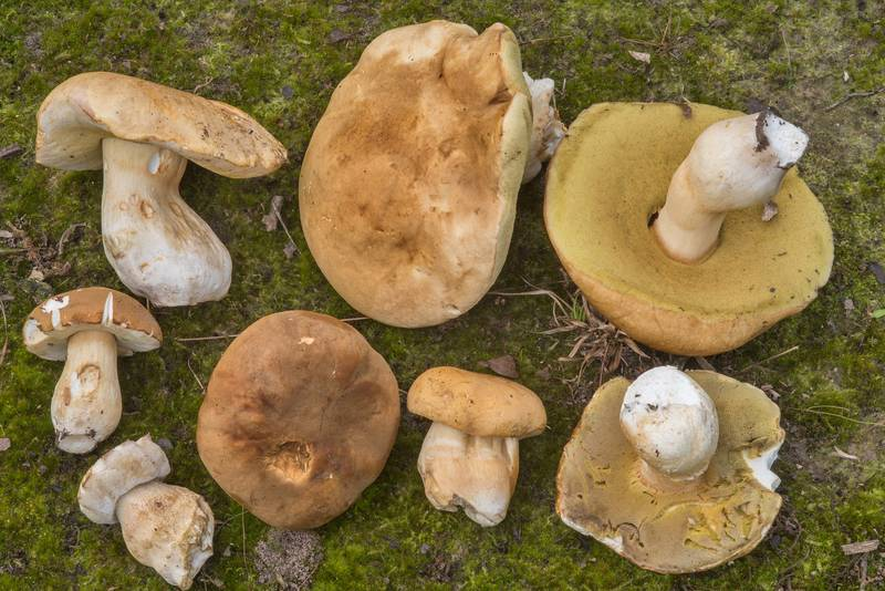 "Large group porcini mushrooms (<B>Boletus edulis</B> group) in Lick Creek Park. College Station, Texas, <A HREF=""../date-en/2018-07-19.htm"">July 19, 2018</A>"