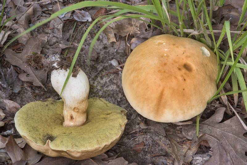 "Large porcini mushrooms (<B>Boletus edulis</B> group) in Lick Creek Park. College Station, Texas, <A HREF=""../date-en/2018-07-19.htm"">July 19, 2018</A>"