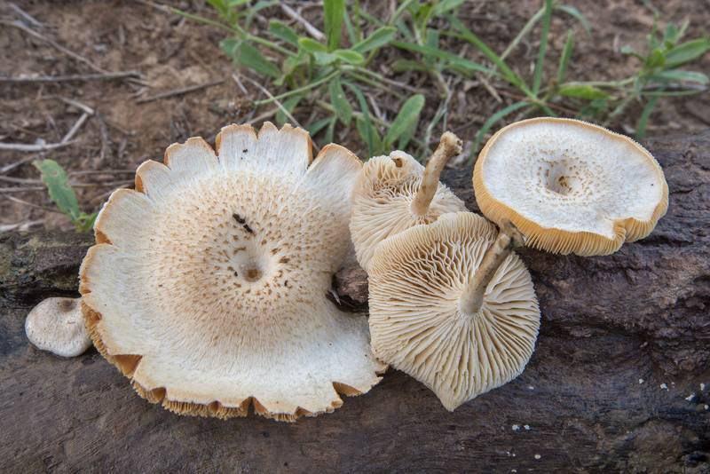Tiger sawgill mushrooms (Lentinus tigrinus) on a tree branch taken from shallow water in Falls on the Brazos Park. Marlin, Texas, July 29, 2018