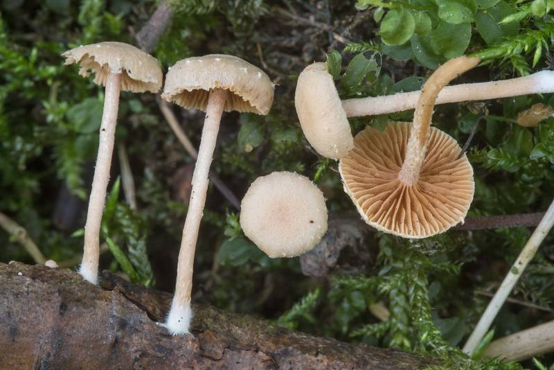 "Felted twiglet mushrooms (<B>Tubaria conspersa</B>) in area of Blizhnie Dubki near Lisiy Nos, south from Saint Petersburg. Russia, <A HREF=""../date-ru/2018-08-17.htm"">August 17, 2018</A>"