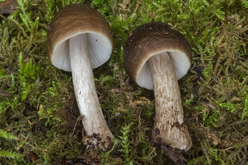 "Shield mushrooms <B>Pluteus rangifer</B> in area of Blizhnie Dubki near Lisiy Nos, south from Saint Petersburg. Russia, <A HREF=""../date-ru/2018-08-17.htm"">August 17, 2018</A>"