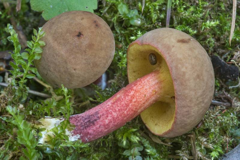 "Sepia bolete mushroom <B>Xerocomellus porosporus</B>(?) near Lisiy Nos, south from Saint Petersburg. Russia, <A HREF=""../date-ru/2018-08-17.htm"">August 17, 2018</A>"