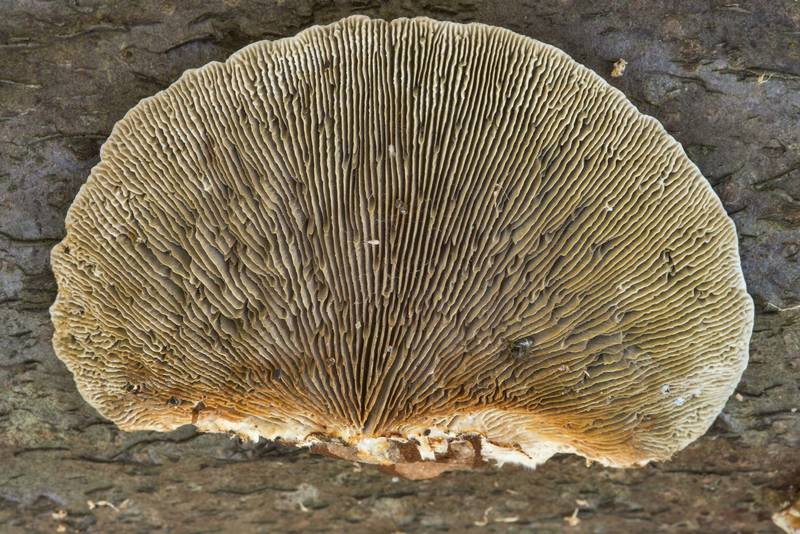 "Gills of blushing bracket mushrooms (<B>Daedaleopsis confragosa</B>) or may be D. septentrionalis near Lisiy Nos, south from Saint Petersburg. Russia, <A HREF=""../date-en/2018-08-17.htm"">August 17, 2018</A>"