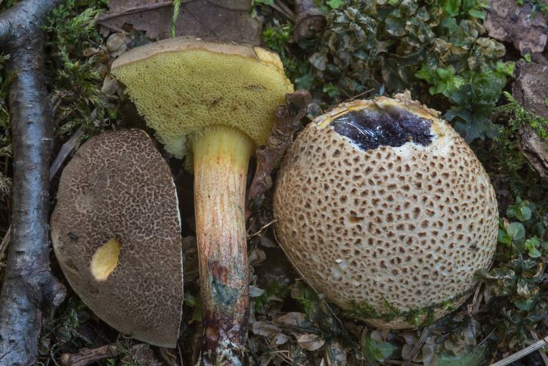 "Sepia bolete mushroom <B>Xerocomellus porosporus</B> together with earthball mushroom (Scleroderma citrinum) near Lisiy Nos, south from Saint Petersburg. Russia, <A HREF=""../date-ru/2018-08-17.htm"">August 17, 2018</A>"