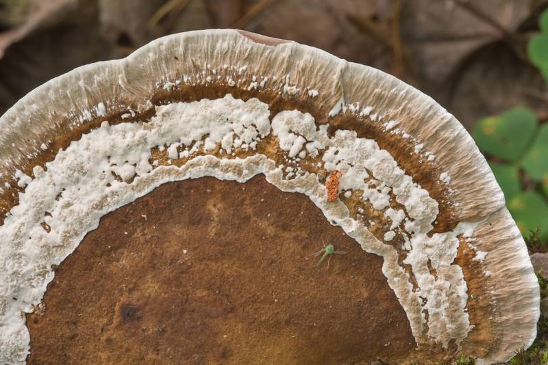 Cap of a thin-walled maze polypore mushroom (Blushing Bracket, Daedaleopsis confragosa) in Tarkhovka near Sestroretsk. West from Saint Petersburg, Russia, August 18, 2018