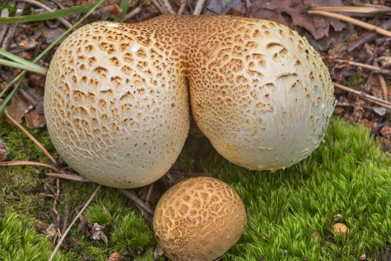 Earthball mushrooms Scleroderma citrinum in Tarkhovka near Sestroretsk. West from Saint Petersburg, Russia, August 18, 2018