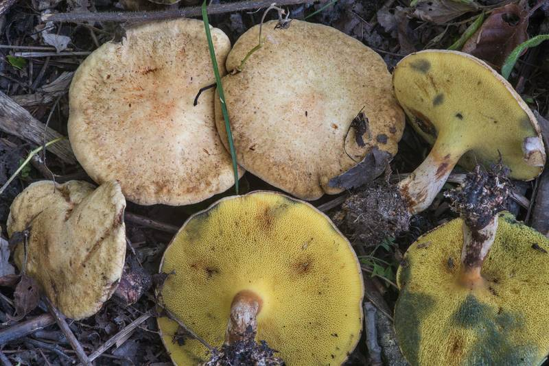 Alder bolete mushrooms (Gyrodon lividus, Russian name Podolshanik) in Tarkhovka near Sestroretsk. West from Saint Petersburg, Russia, August 18, 2018
