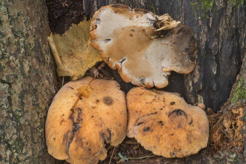 Mushrooms Cerioporus varius (Polyporus varius) on a linden tree in Pavlovsk Park. Pavlovsk, suburb of Saint Petersburg, Russia, August 20, 2018