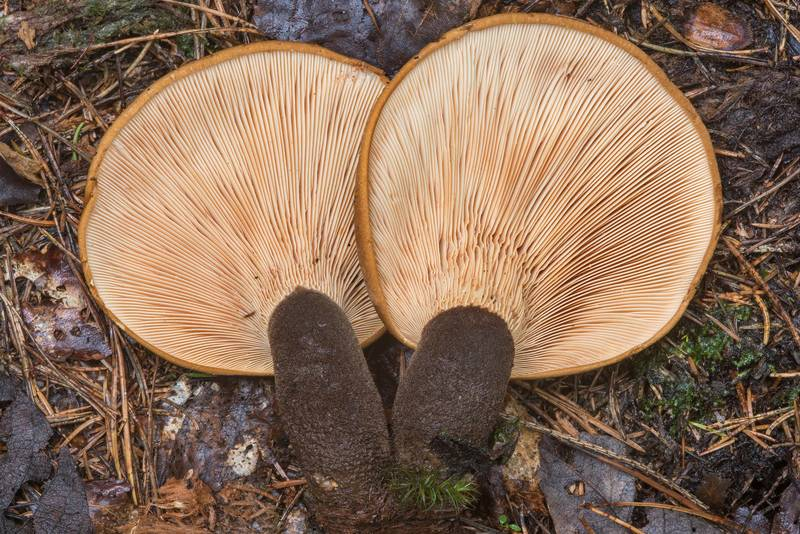 Gills of velvet rollrim mushrooms (Tapinella atrotomentosa) west from Kavgolovo Lake near Toksovo, north from Saint Petersburg. Russia, August 21, 2018