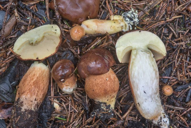 "Young bay bolete mushrooms (<B>Imleria badia</B>) west from Kavgolovo Lake near Toksovo, north from Saint Petersburg. Russia, <A HREF=""../date-ru/2018-08-21.htm"">August 21, 2018</A>"