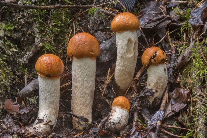"Young red cap bolete mushrooms <B>Leccinum albostipitatum</B>(?) in a roadside ditch west from Kavgolovo Lake near Toksovo, north from Saint Petersburg. Russia, <A HREF=""../date-ru/2018-08-21.htm"">August 21, 2018</A>"