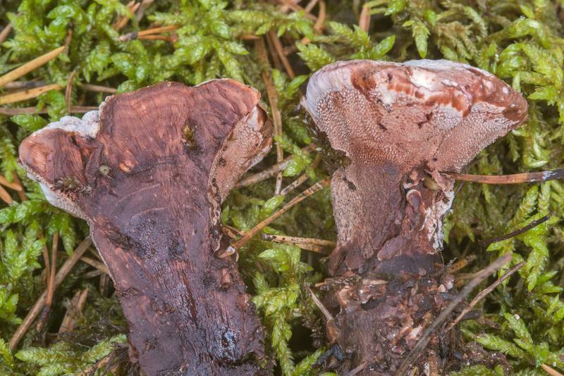 "Dissected mealy tooth mushroom (<B>Hydnellum ferrugineum</B>)(?) near Vyritsa, 50 miles south from Saint Petersburg. Russia, <A HREF=""../date-ru/2018-08-22.htm"">August 22, 2018</A>"