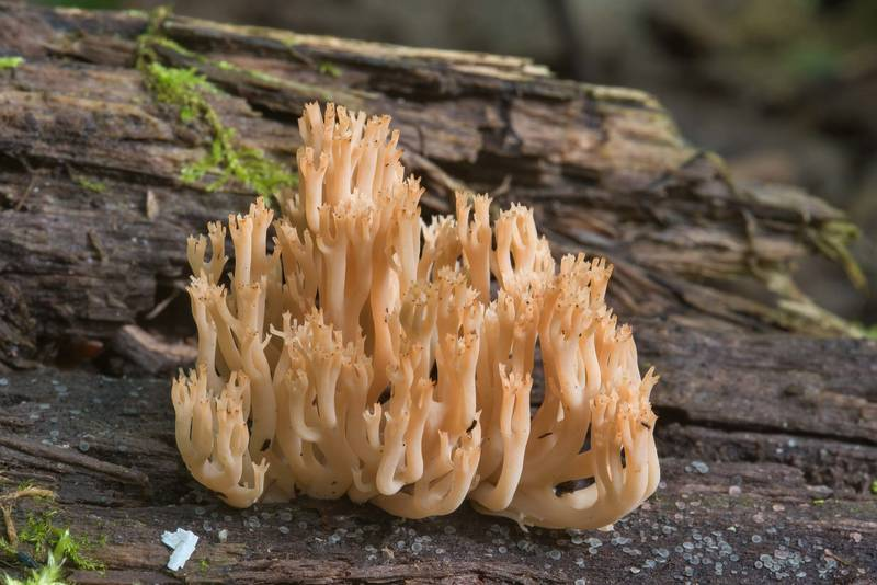 Candelabra coral mushrooms (Artomyces pyxidatus) in Kuzmolovo, north from Saint Petersburg. Russia, August 23, 2018