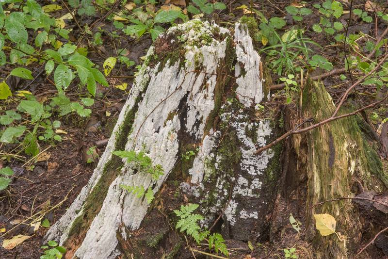 Corticioid mushrooms Physisporinus vitreus covering a stump near Lisiy Nos. West from Saint Petersburg, Russia, August 26, 2018