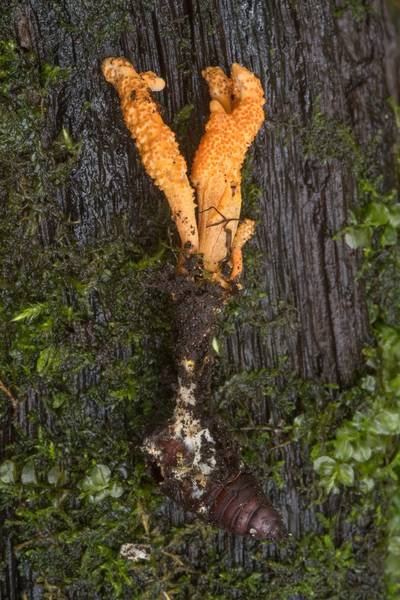 "Orange club fungus <B>Cordyceps militaris</B> on a pupae near Lisiy Nos. West from Saint Petersburg, Russia, <A HREF=""../date-en/2018-08-26.htm"">August 26, 2018</A>"