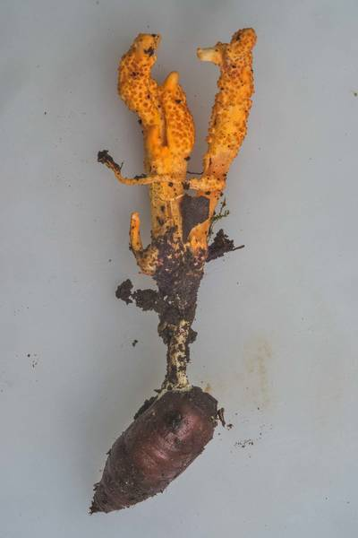 "Close up of orange club fungus <B>Cordyceps militaris</B> on a pupae near Lisiy Nos. West from Saint Petersburg, Russia, <A HREF=""../date-ru/2018-08-26.htm"">August 26, 2018</A>"