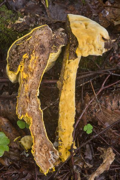 "Dissected bolete with mold fungus <B>Hypomyces chrysospermus</B> near Lisiy Nos. West from Saint Petersburg, Russia, <A HREF=""../date-en/2018-08-26.htm"">August 26, 2018</A>"