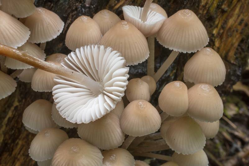 Gills of clustered bonnet mushrooms (Mycena inclinata) near Lisiy Nos. West from Saint Petersburg, Russia, August 26, 2018
