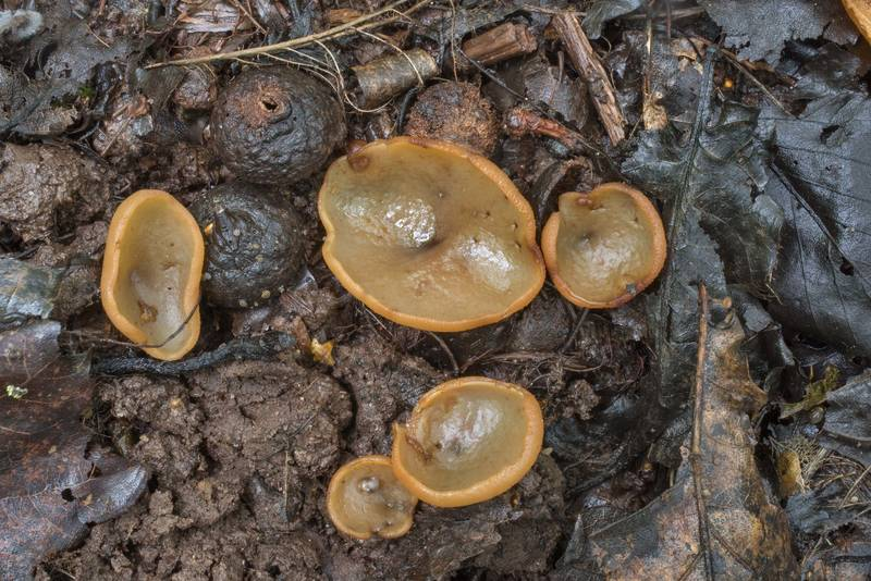 Small cup mushrooms Peziza succosella(?) on roadside near Lisiy Nos. West from Saint Petersburg, Russia, August 26, 2018