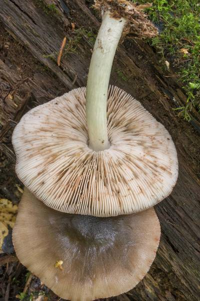 "Deer shield mushrooms (<B>Pluteus cervinus</B>)(?) near Lisiy Nos. West from Saint Petersburg, Russia, <A HREF=""../date-ru/2018-08-26.htm"">August 26, 2018</A>"