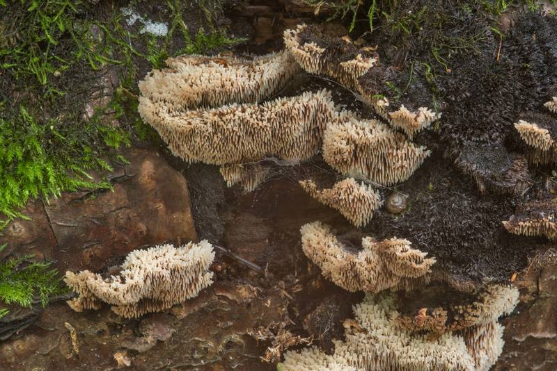 Tooth mushrooms Gloiodon strigosus on a side of a fallen bird cherry near Lisiy Nos. West from Saint Petersburg, Russia, August 26, 2018