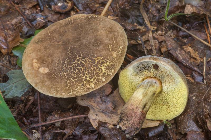 "Sepia bolete mushroom <B>Xerocomellus porosporus</B> near Gulf of Finland near Lisiy Nos. West from Saint Petersburg, Russia, <A HREF=""../date-ru/2018-08-26.htm"">August 26, 2018</A>"