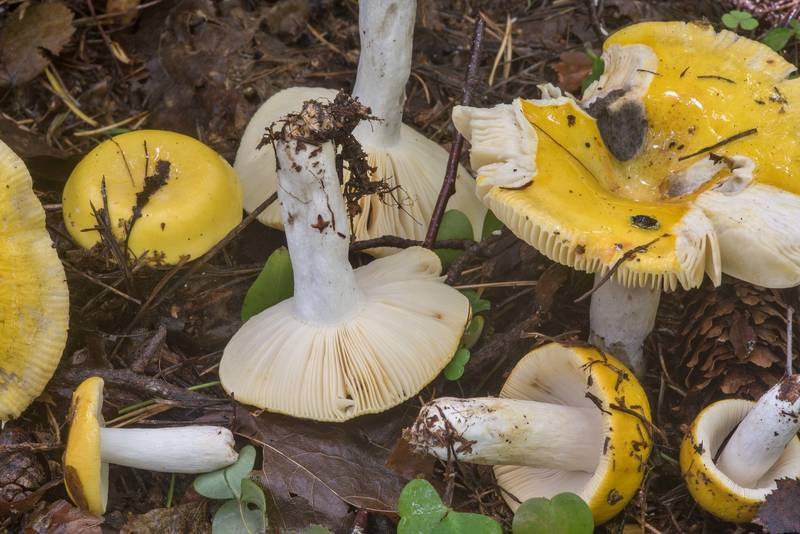 Common yellow brittlegill (Russula ochroleuca) mushrooms in Tarkhovka near Sestroretsk, west from Saint Petersburg. Russia, August 27, 2018