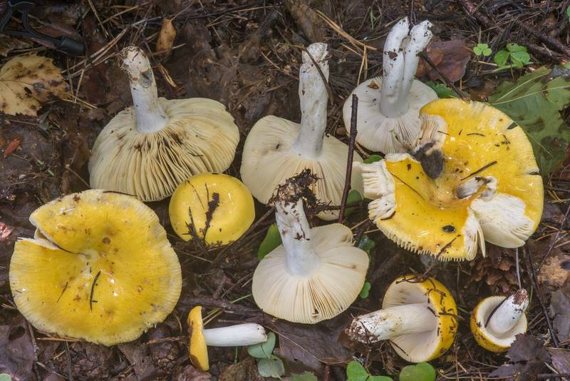 Group of common yellow brittlegill (Russula ochroleuca) mushrooms in Tarkhovka near Sestroretsk, west from Saint Petersburg. Russia, August 27, 2018