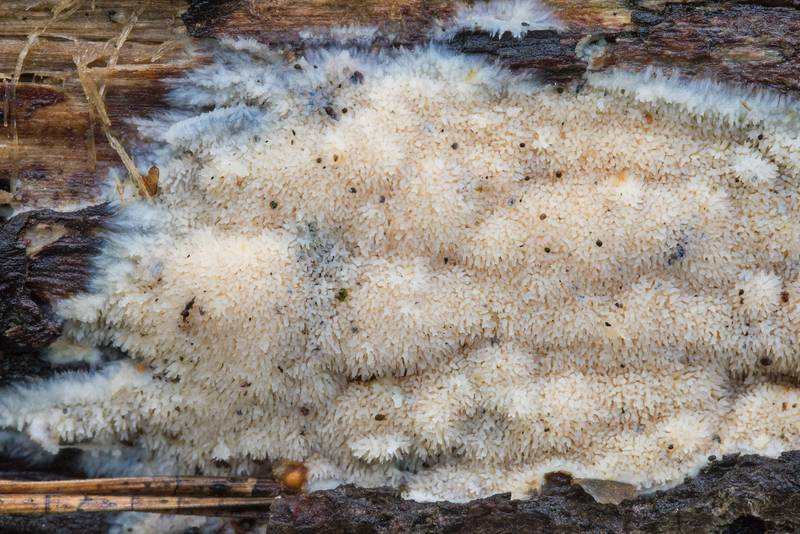 Hydnoid resupinate fungus Hyphodontia or may be Radulomyces molaris on a log in Tarkhovka near Sestroretsk, west from Saint Petersburg. Russia, August 27, 2018