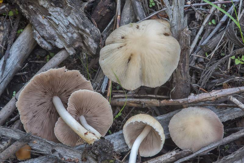 Large pale brittlestem mushrooms (Psathyrella candolleana) from cut bushes on mulch near Tarkhovka train stop near Sestroretsk, west from Saint Petersburg. Russia, August 27, 2018
