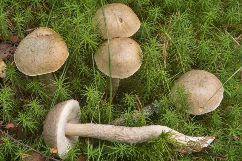 "Ghost bolete mushrooms (<B>Leccinum holopus</B>) near Kavgolovskoe Lake south from Oselki, 8 miles north from Saint Petersburg. Russia, <A HREF=""../date-ru/2018-08-29.htm"">August 29, 2018</A>"