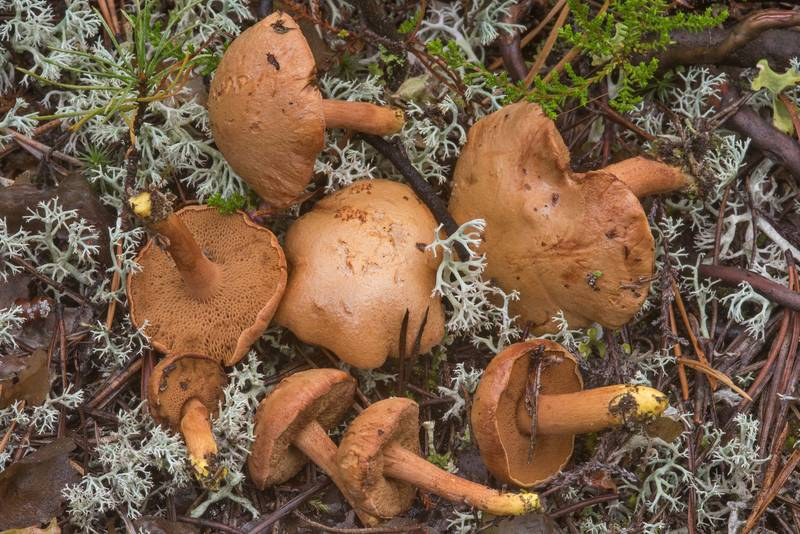 "Peppery bolete mushrooms (<B>Chalciporus piperatus</B>) near Orekhovo, 45 miles north from Saint Petersburg. Russia, <A HREF=""../date-ru/2018-08-30.htm"">August 30, 2018</A>"