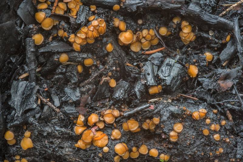 Cup fungi Anthracobia maurilabra(?) on burnt peat at a site of bonfire near a lake near Orekhovo, 45 miles north from Saint Petersburg. Russia, August 30, 2018