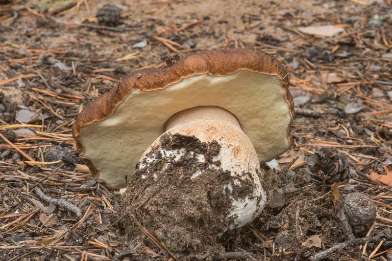 "Porcino mushroom (<B>Boletus edulis</B>) at crossing of forest roads near Orekhovo, 45 miles north from Saint Petersburg. Russia, <A HREF=""../date-ru/2018-08-30.htm"">August 30, 2018</A>"