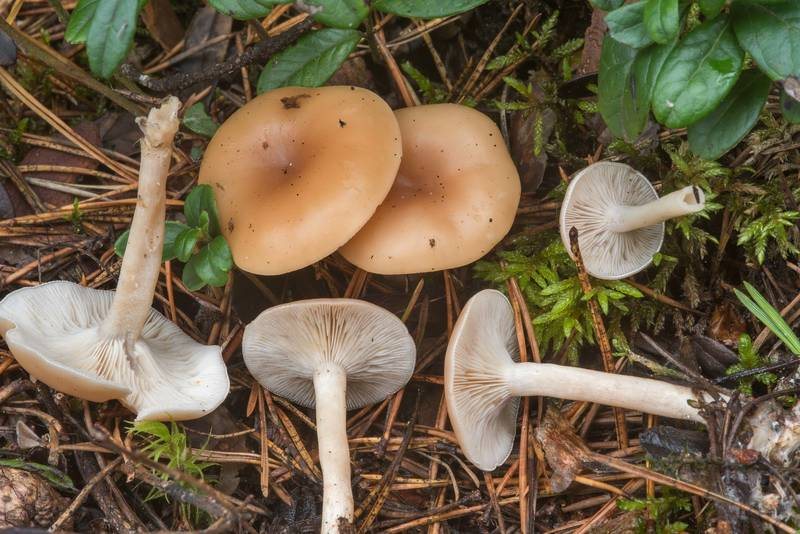 Fragrant funnel mushrooms (Clitocybe fragrans) near Orekhovo, 45 miles north from Saint Petersburg. Russia, August 30, 2018