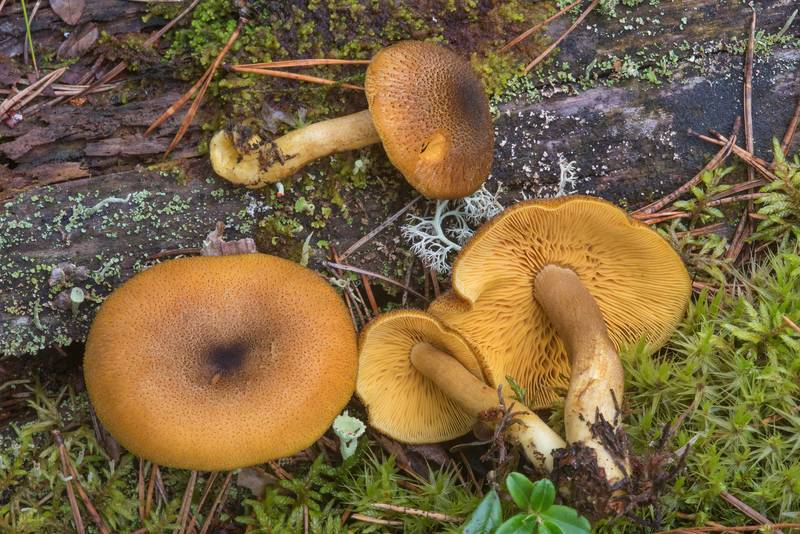 "Prunes and custard mushrooms (<B>Tricholomopsis decora</B>) near Zakhodskoe (Lounatjoki), 50 miles north from Saint Petersburg. Russia, <A HREF=""../date-en/2018-08-31.htm"">August 31, 2018</A>"