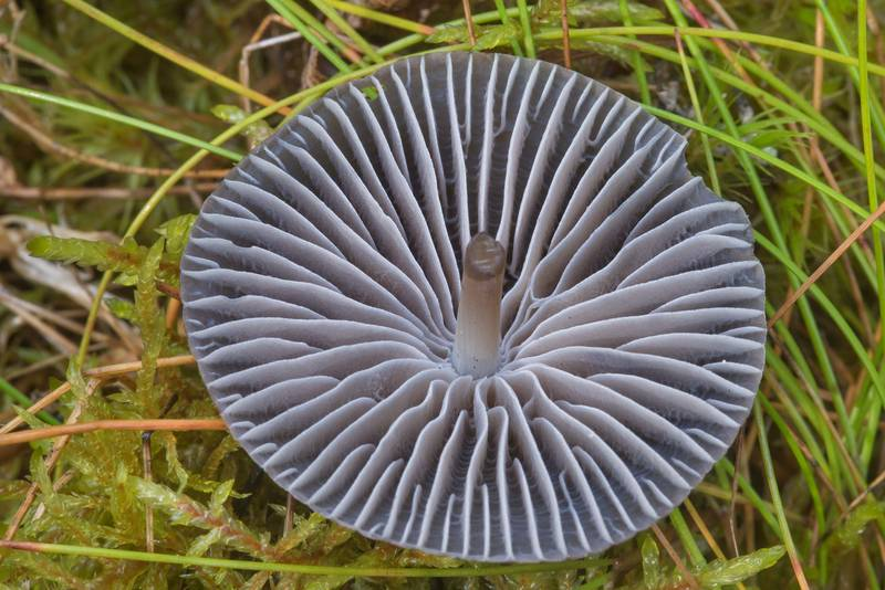 "Gills of rooting bonnet mushroom (<B>Mycena megaspora</B>) near Zakhodskoe (Lounatjoki), 50 miles north from Saint Petersburg. Russia, <A HREF=""../date-en/2018-08-31.htm"">August 31, 2018</A>"