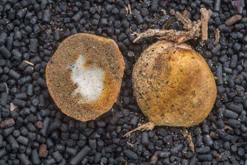 Yellow false truffle fungus (Rhizopogon luteolus) west from Kannelyarvi, 45 miles north from Saint Petersburg. Russia, August 31, 2018