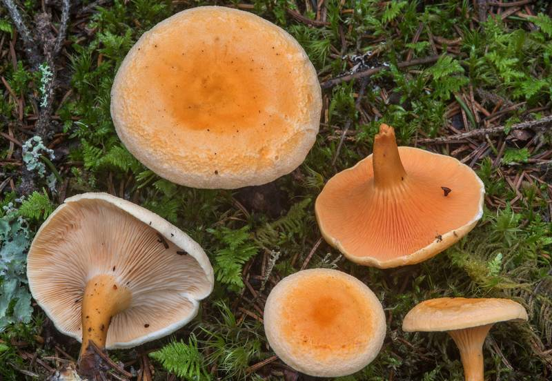 "False chanterelle mushrooms (<B>Hygrophoropsis aurantiaca</B>) west from Kannelyarvi, 45 miles north from Saint Petersburg. Russia, <A HREF=""../date-en/2018-08-31.htm"">August 31, 2018</A>"