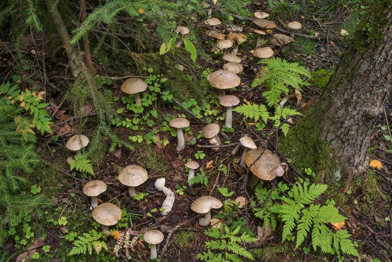 "Large group of Ghost bolete mushrooms (<B>Leccinum holopus</B>) in a swampy forest near Lisiy Nos, west from Saint Petersburg. Russia, <A HREF=""../date-ru/2018-09-01.htm"">September 1, 2018</A>"
