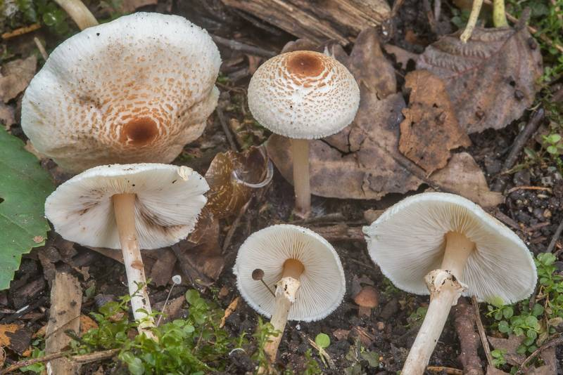 "Stinking dapperling mushrooms (<B>Lepiota cristata</B>) near Lisiy Nos, west from Saint Petersburg. Russia, <A HREF=""../date-ru/2018-09-01.htm"">September 1, 2018</A>"