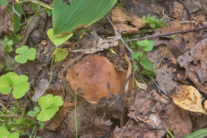 "Young porcino mushroom (<B>Boletus edulis</B>) under leaves on roadside in a spruce forest near Lisiy Nos, west from Saint Petersburg. Russia, <A HREF=""../date-ru/2018-09-01.htm"">September 1, 2018</A>"