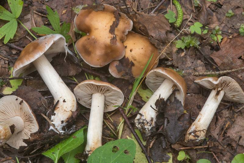 "Poison pie mushrooms (<B>Hebeloma crustuliniforme</B>)(?) near Lisiy Nos, west from Saint Petersburg. Russia, <A HREF=""../date-ru/2018-09-01.htm"">September 1, 2018</A>"