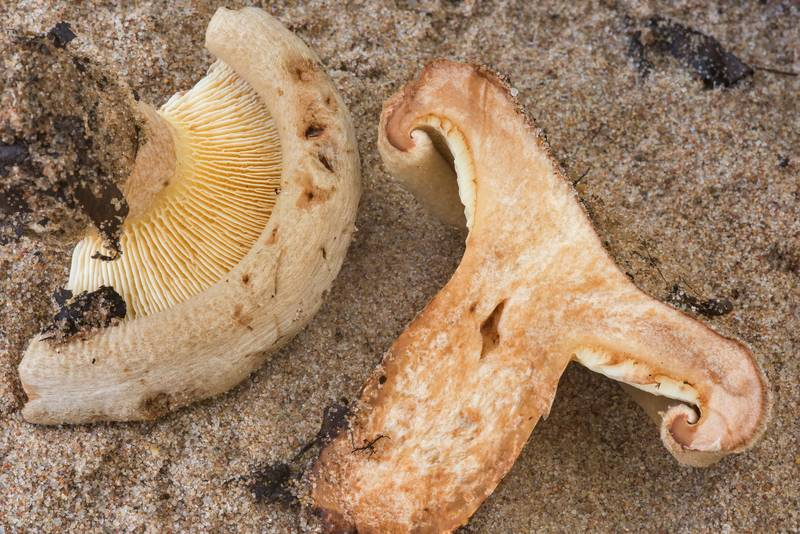 Dissected brown roll-rim mushroom (Paxillus involutus, Russian name Svinushka) in sand on a beach in West Kotlin Nature Reserve in Kronstadt. Saint Petersburg, Russia, September 2, 2018