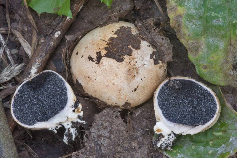 Earthball mushrooms Scleroderma bovista in West Kotlin Nature Reserve in Kronstadt. Saint Petersburg, Russia, September 2, 2018